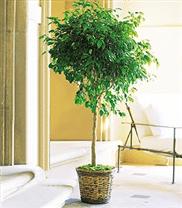 TF136-5 Ficus benjamina sur tige