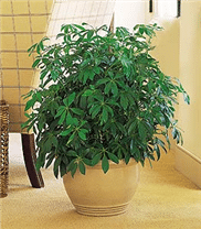 TF137-1 Schefflera arboricola 10po
